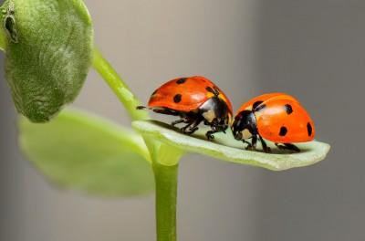 ladybugs-ladybirds-bugs-insects-144243.jpeg