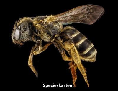 bee-halictus-macro-pollinator.jpg